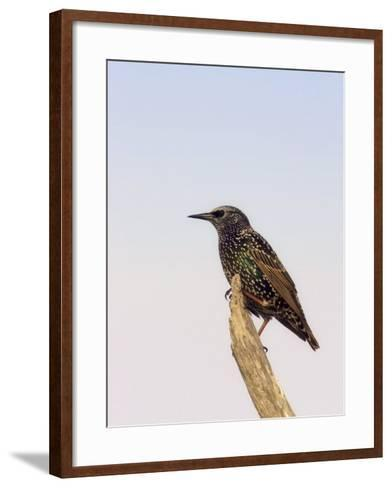 European Starling, Sturnus Vulgaris, an Introduced and Invasive Species, North America-John Cornell-Framed Art Print