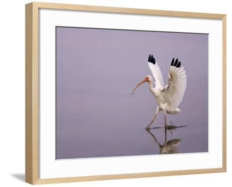 White Ibis Walking Through Water with Wings Open, Endocimus Albus, North America-John Cornell-Framed Art Print