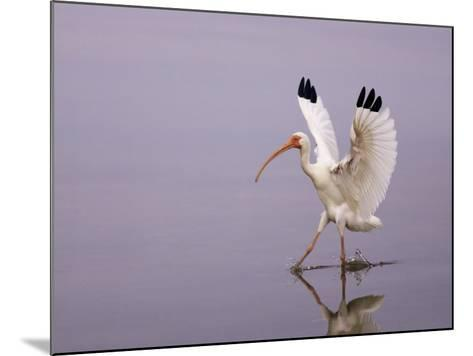 White Ibis Walking Through Water with Wings Open, Endocimus Albus, North America-John Cornell-Mounted Photographic Print