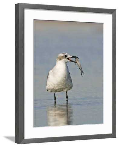 Laughing Gull, Larus Atricilla, with Fish in its Mouth, Eastern North America-John Cornell-Framed Art Print
