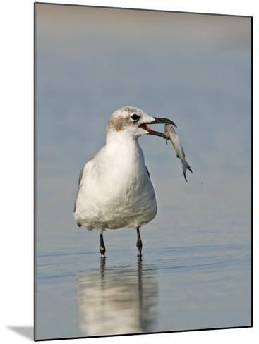 Laughing Gull, Larus Atricilla, with Fish in its Mouth, Eastern North America-John Cornell-Mounted Photographic Print