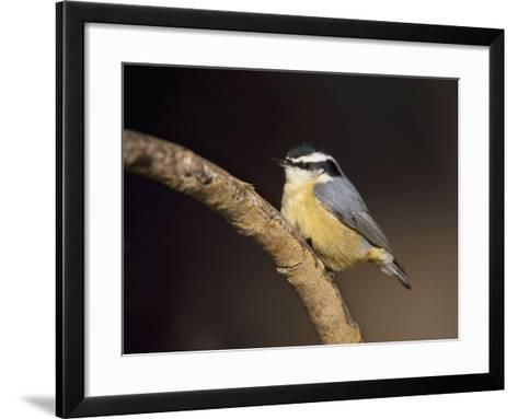 Red-Breasted Nuthatch, Sitta Canadensis, North America-John Cornell-Framed Art Print