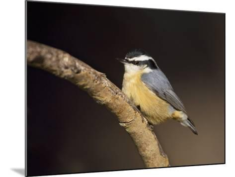 Red-Breasted Nuthatch, Sitta Canadensis, North America-John Cornell-Mounted Photographic Print
