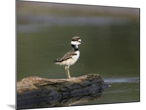 Kildeer (Charadrius Vociferus) Juvenile-John Cornell-Mounted Photographic Print