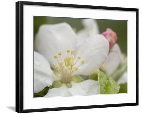 Apple Blossom--Framed Art Print