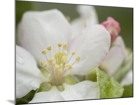 Apple Blossom--Mounted Photographic Print