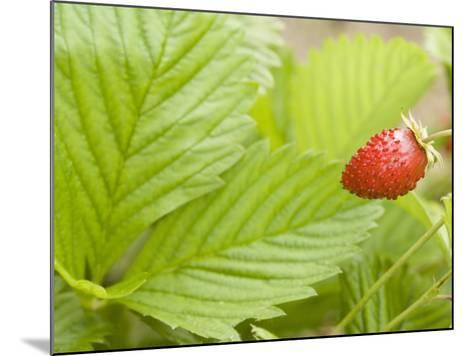 Strawberry--Mounted Photographic Print