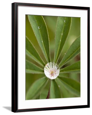Raindrops on Lupine Leaves--Framed Art Print