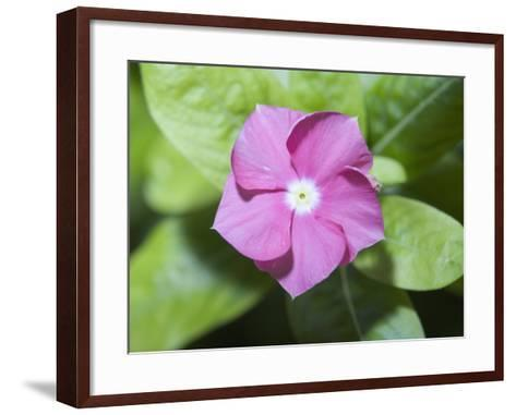 Rosy Periwinkle (Catharanthus Roseus), the Source of an Anti-Cacer Drug--Framed Art Print