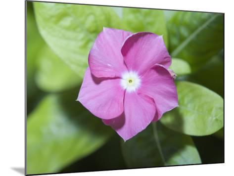 Rosy Periwinkle (Catharanthus Roseus), the Source of an Anti-Cacer Drug--Mounted Photographic Print