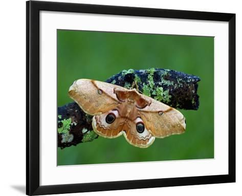 Saturnid Moth (Caligula Japonica) Female with Open Wings Showing its Eyespots-Leroy Simon-Framed Art Print