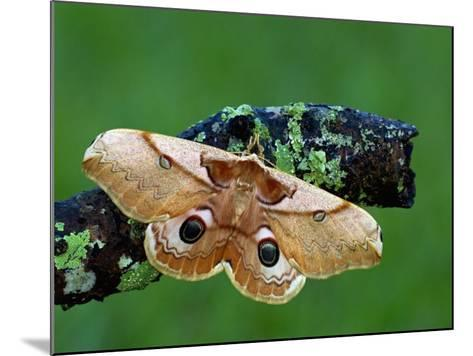 Saturnid Moth (Caligula Japonica) Female with Open Wings Showing its Eyespots-Leroy Simon-Mounted Photographic Print