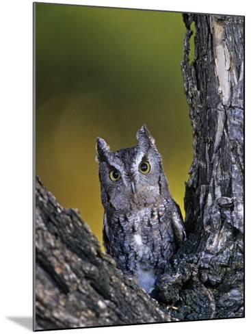 Western Screech Owl in a Coniferous Forest, Otus Kennicotti, Western North America-Jack Michanowski-Mounted Photographic Print