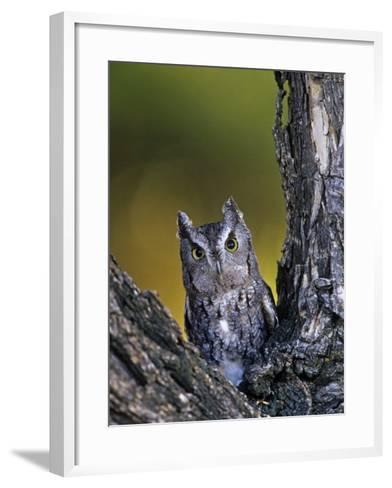 Western Screech Owl in a Coniferous Forest, Otus Kennicotti, Western North America-Jack Michanowski-Framed Art Print