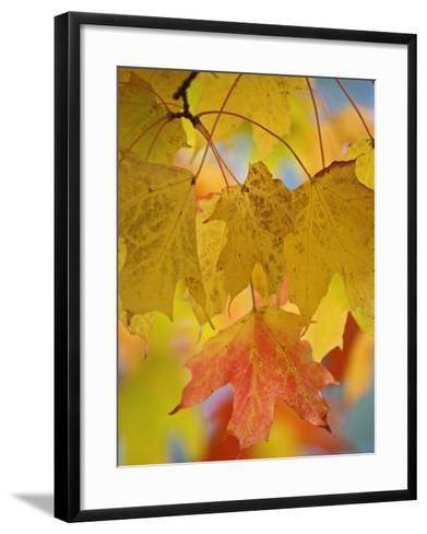 Maple Leaves in the Fall (Acer)-Adam Jones-Framed Art Print