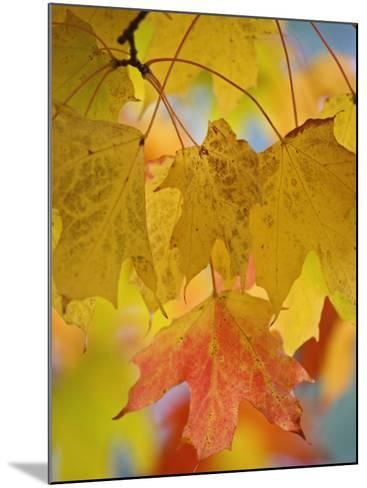 Maple Leaves in the Fall (Acer)-Adam Jones-Mounted Photographic Print