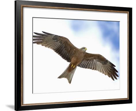 Yellow-Billed Kite in Flight, Milvus Aegyptius, Tanzania, Africa-Arthur Morris-Framed Art Print