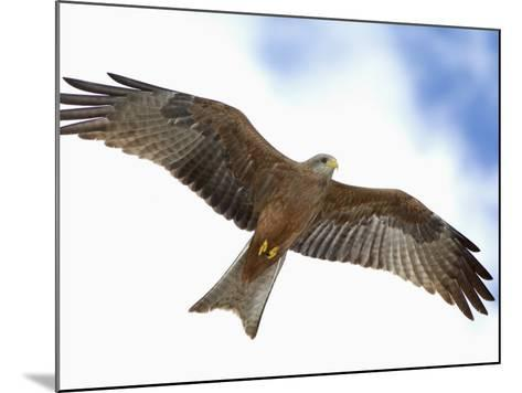 Yellow-Billed Kite in Flight, Milvus Aegyptius, Tanzania, Africa-Arthur Morris-Mounted Photographic Print