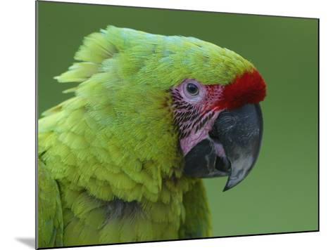 Military Macaw Head-Arthur Morris-Mounted Photographic Print