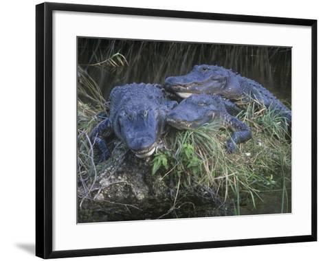 American Alligators, Alligator Mississippiensis, Everglades National Park, Florida, USA-Gary Meszaros-Framed Art Print