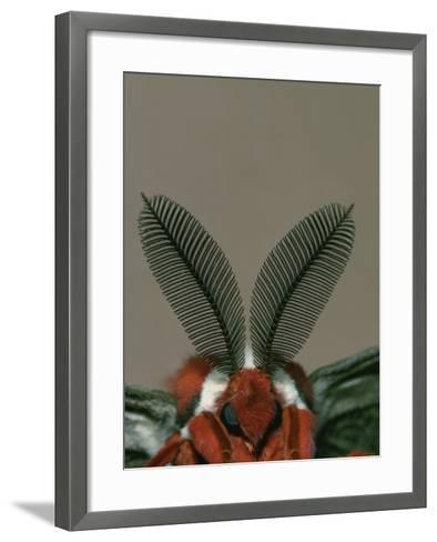 Antenna and Face of Male Cecropia Moth, Hyalophora Cecropia-Charles Melton-Framed Art Print