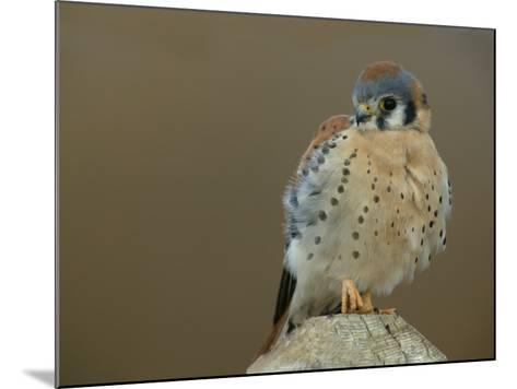Male American Kestrel Sitting on a Post, Falco Sparverius, North America-Arthur Morris-Mounted Photographic Print
