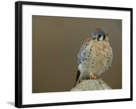 Male American Kestrel Sitting on a Post, Falco Sparverius, North America-Arthur Morris-Framed Art Print