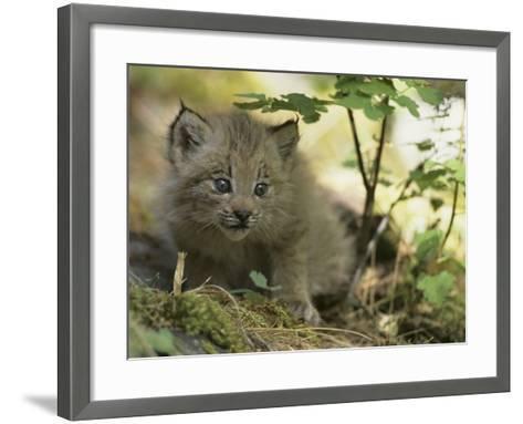 Canada Lynx Kitten, Lynx Canadensis, North America-Joe McDonald-Framed Art Print