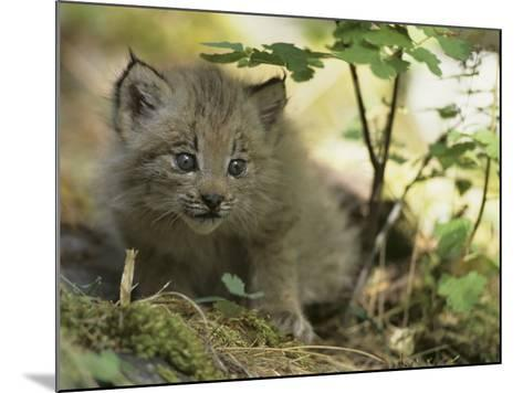 Canada Lynx Kitten, Lynx Canadensis, North America-Joe McDonald-Mounted Photographic Print