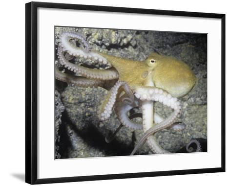 Two-Spot Octopus (Octopus Bimaculoides) Southern California, USA-Ken Lucas-Framed Art Print