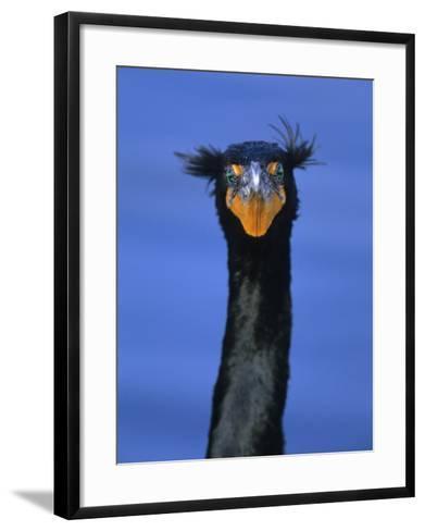 Double-Crested Cormorant, Florida Everglades National Park-Arthur Morris-Framed Art Print