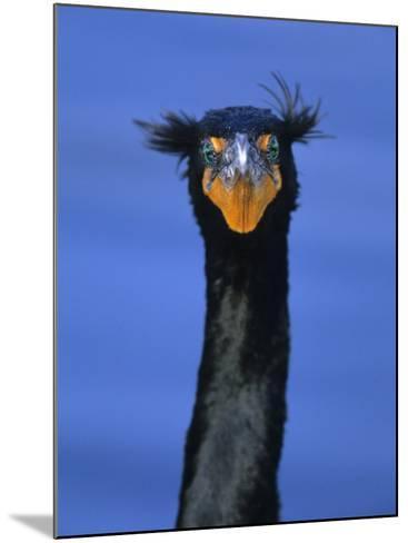 Double-Crested Cormorant, Florida Everglades National Park-Arthur Morris-Mounted Photographic Print