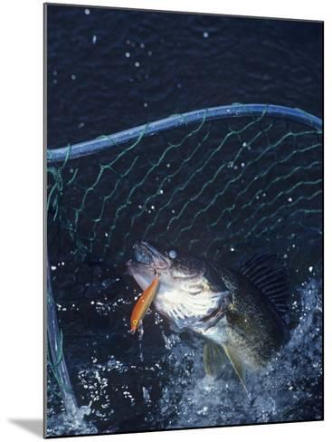 Netting Walleye-Wally Eberhart-Mounted Photographic Print