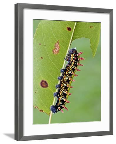 Saturnid Moth Caterpillar (Antherina Suraka) Feeding on a Leaf-Leroy Simon-Framed Art Print