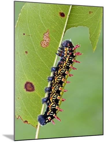 Saturnid Moth Caterpillar (Antherina Suraka) Feeding on a Leaf-Leroy Simon-Mounted Photographic Print