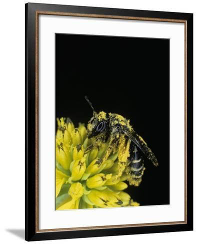 Pollen Covered Leafcutting Bee on Wingstem, Mgachilidae, on, Verbesina Alternifolia-Bill Beatty-Framed Art Print