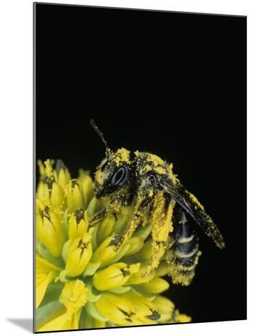 Pollen Covered Leafcutting Bee on Wingstem, Mgachilidae, on, Verbesina Alternifolia-Bill Beatty-Mounted Photographic Print