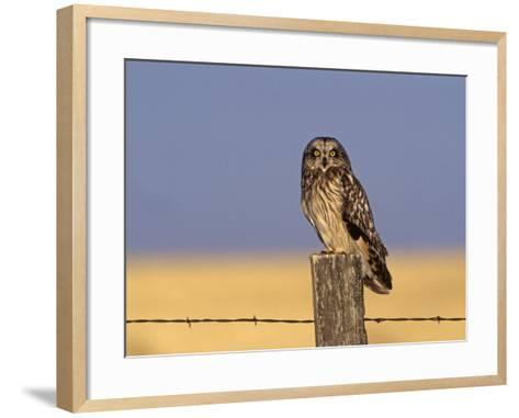 Short-Eared Owl (Asio Flammeus) on a Fence Post, North America-Tom Ulrich-Framed Art Print