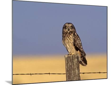Short-Eared Owl (Asio Flammeus) on a Fence Post, North America-Tom Ulrich-Mounted Photographic Print