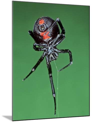 Female Black Widow Spider, Latrodectus Mactans-Bill Beatty-Mounted Photographic Print