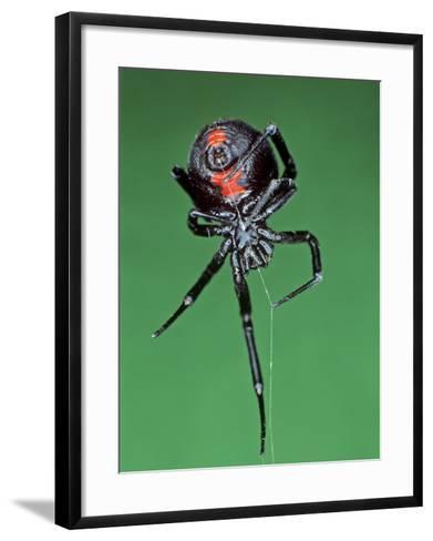 Female Black Widow Spider, Latrodectus Mactans-Bill Beatty-Framed Art Print