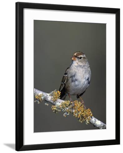 White-Crowned Sparrow in First Winter Plumage, Zonotrichia Leucophrys, North America-Arthur Morris-Framed Art Print
