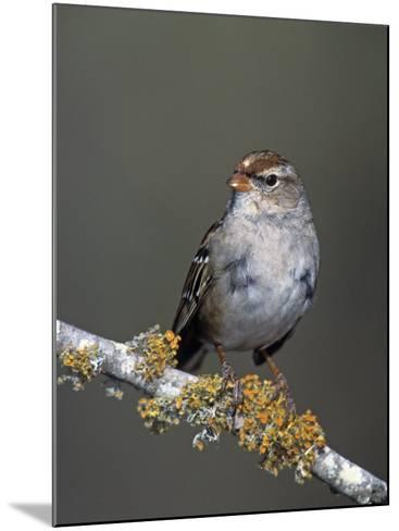 White-Crowned Sparrow in First Winter Plumage, Zonotrichia Leucophrys, North America-Arthur Morris-Mounted Photographic Print