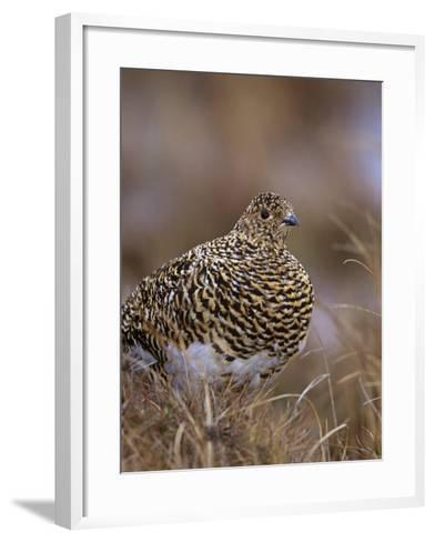 Female Willow Ptarmigan in Summer, Lagopus Lagopus, Canada-Arthur Morris-Framed Art Print