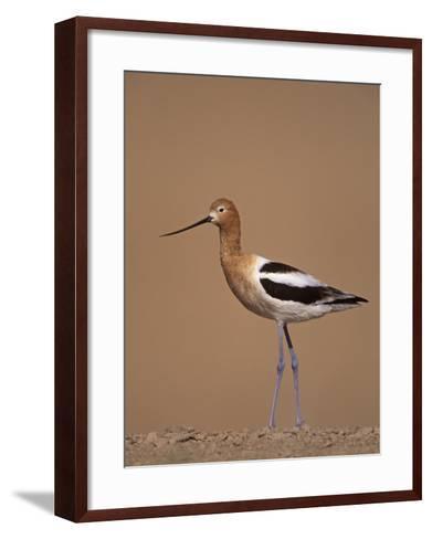 American Avocet Showing its Long Legs and Bill, Recurvirostra Americasna, USA-Arthur Morris-Framed Art Print