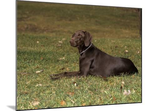 german short haired pointer variety of domestic dog. Black Bedroom Furniture Sets. Home Design Ideas