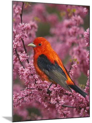A Male Scarlet Tanager, Piranga Olivacea, in a Flowering Redbud Tree, Eastern USA-Adam Jones-Mounted Photographic Print