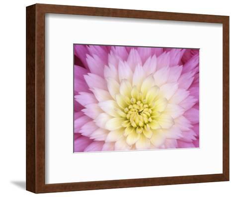 Close Up of a Dahlia Hybrid Flower, Gay Princess Variety-Wally Eberhart-Framed Art Print