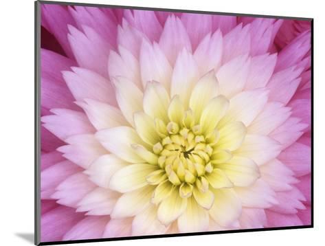 Close Up of a Dahlia Hybrid Flower, Gay Princess Variety-Wally Eberhart-Mounted Photographic Print