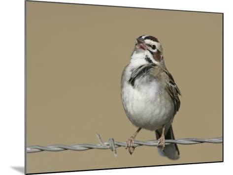 Lark Sparrow Singing, Chondestes Grammacus, Texas, USA-Arthur Morris-Mounted Photographic Print